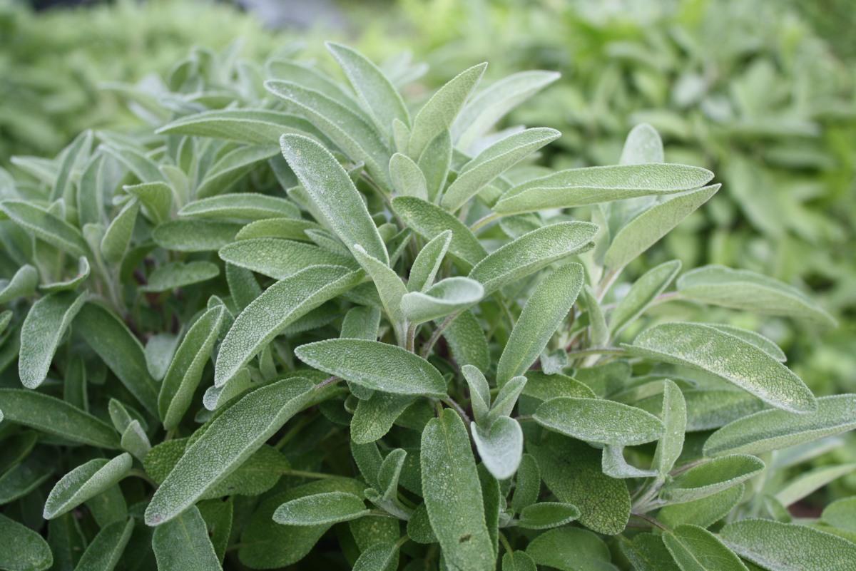 La sauge : plante qui sauve